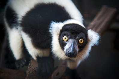 ruffed, lemur, primate, stock, getty