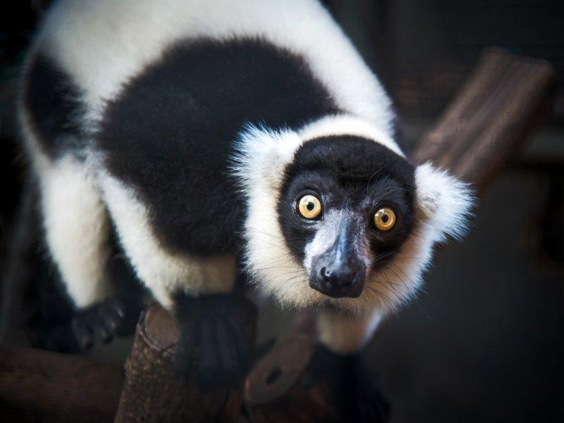 ruffed, lemur, primate, stock, getty