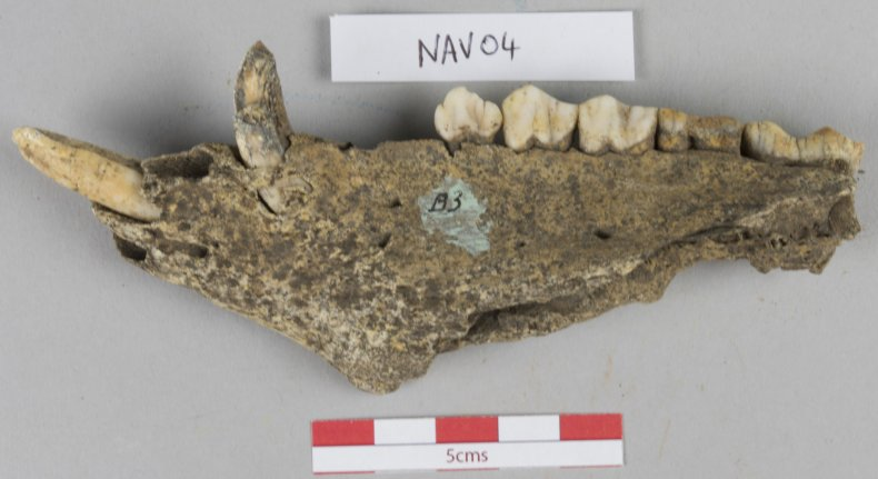 ancient pig jaw