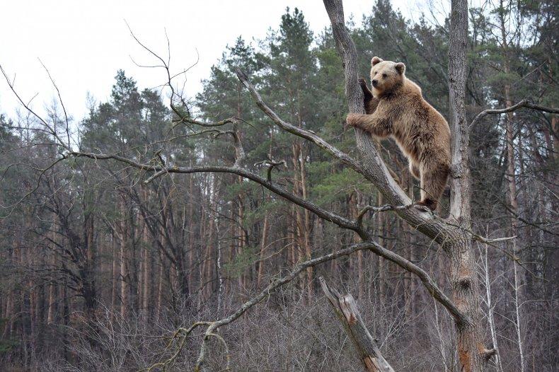 Brown Bear in Tree