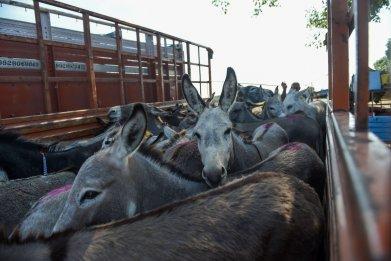 donkey trading