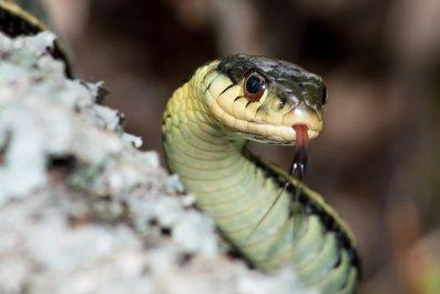 eastern garter snake stock photo