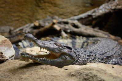 Philipine Crocodile