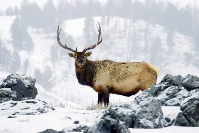 elk, winter, yellowstone, getty, stock