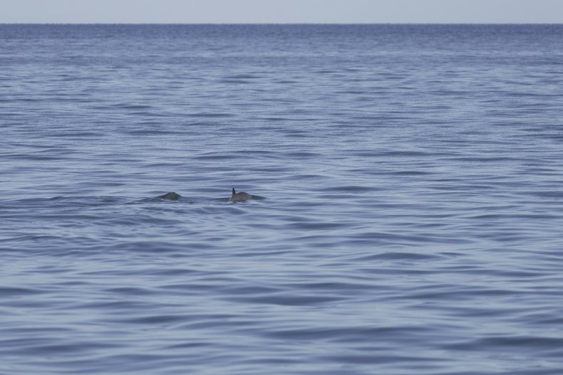 endangered vaquita porpoise
