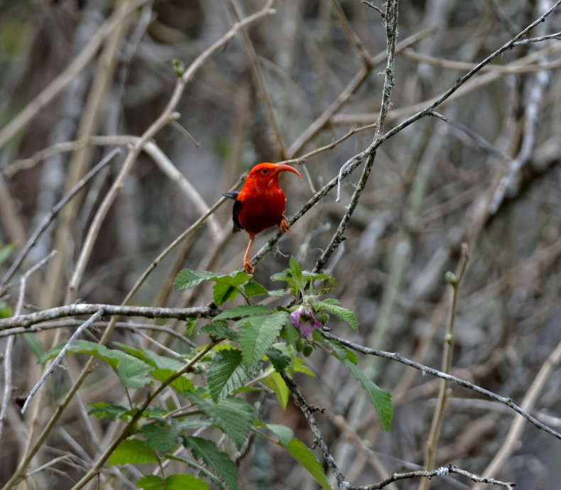 honeycreeper bird