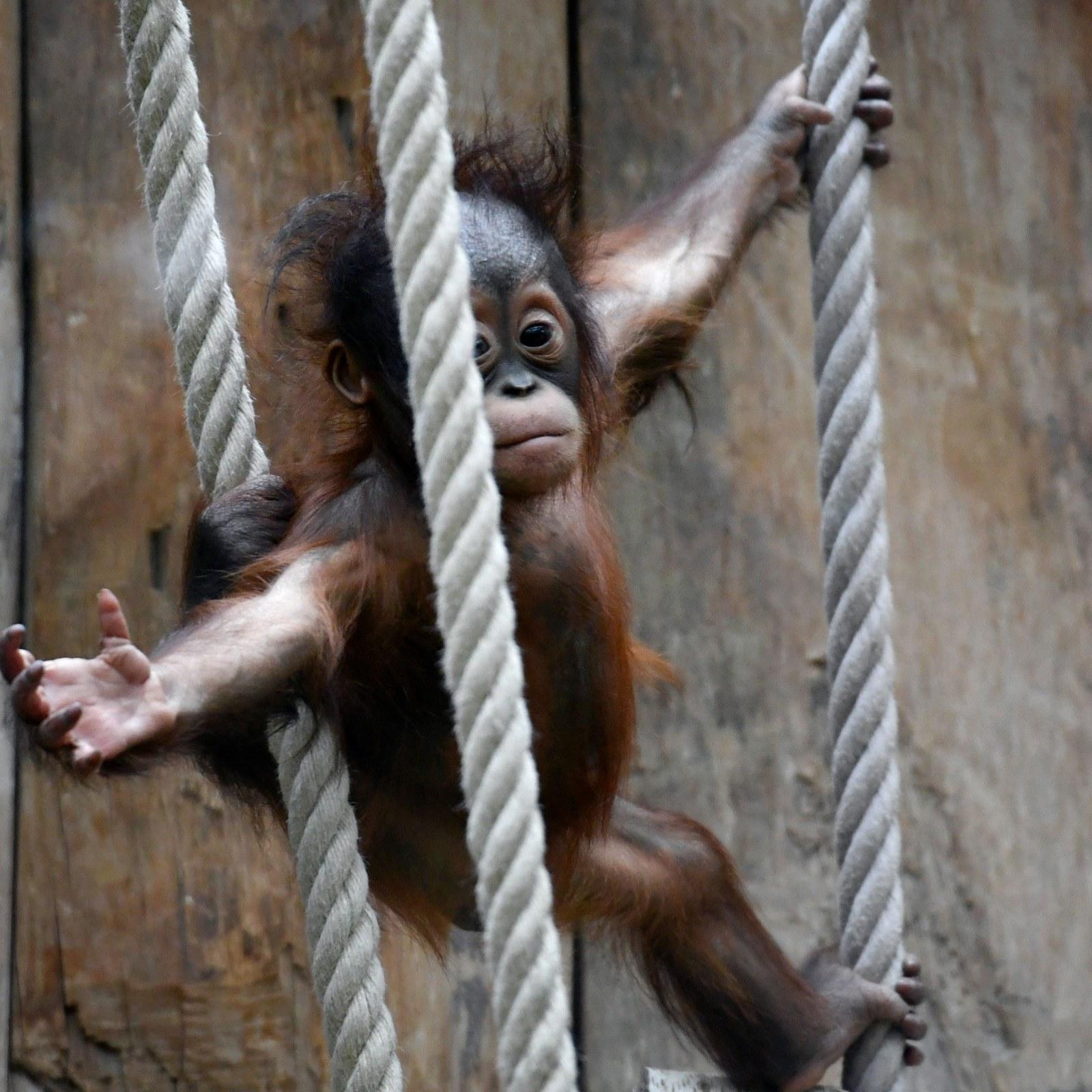 Endangered Breeding Gorilla Among Dozens Of Animals Burned