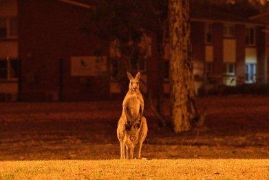 animals killed wildfire australia kangaroo koala
