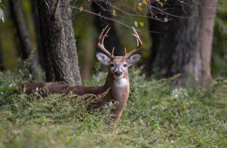 White tailed deer buck (Stock)
