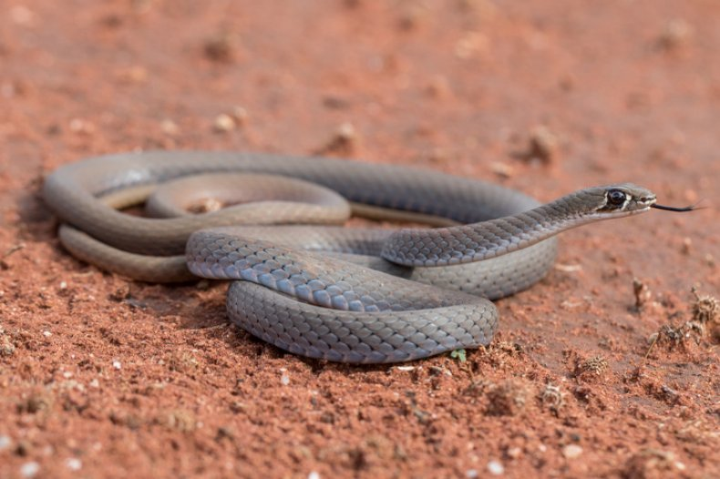 Stock: Yellow-faced Whip Snake