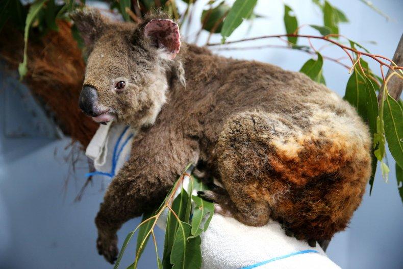 koala australia wildfires