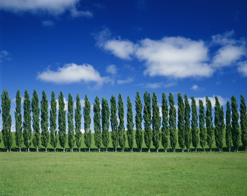poplar, trees, nature, outdoors, stock, getty,