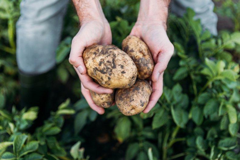 potato, vegetable, stock, getty, farm, produce,