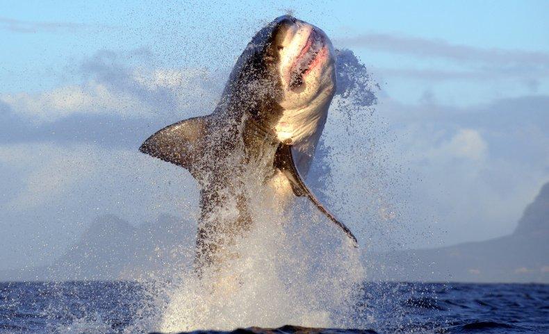 great white shark false bay