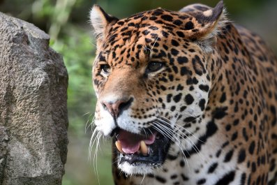 Jaguar in zoo
