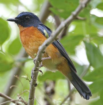 Togian Jungle - flycatcher