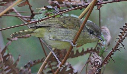 Taliabu Leaf - Warbler
