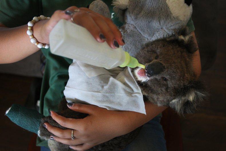 Koala Chlamydia