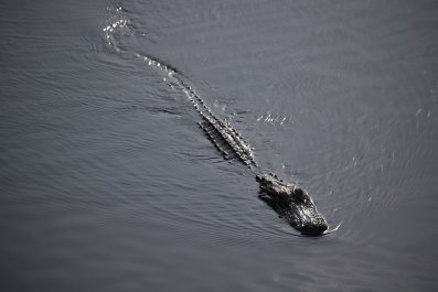 alligator, florida, everglades national park,