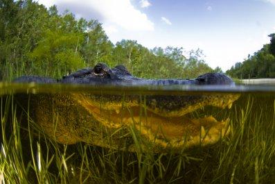alligator, water, wildlife, animal, nature, stock, getty