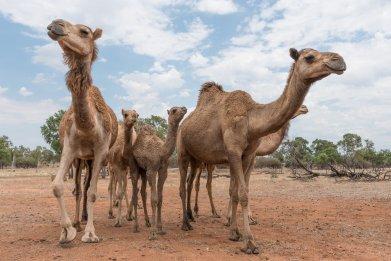 camel, south australia, stock, getty
