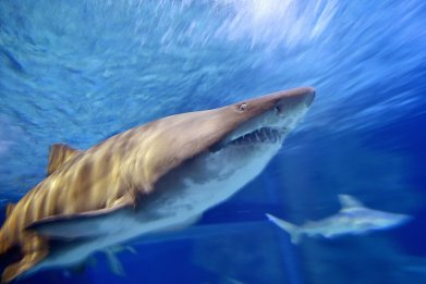 Bull shark Ocearium Le Croisic France