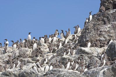 Common Murres on a Nesting Island in Kachemak Bay in Alaska