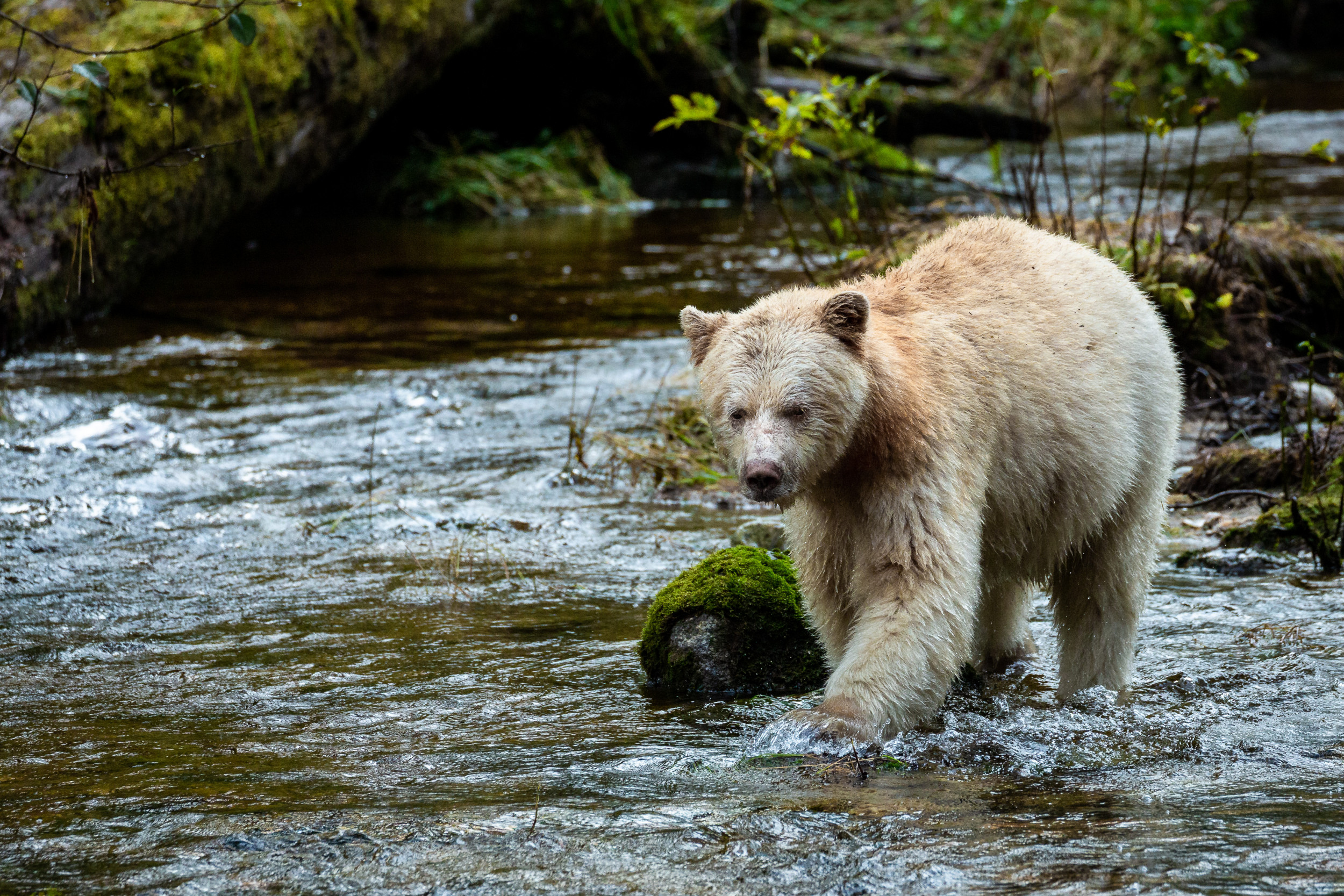 In Search of the Elusive Spirit Bear in the