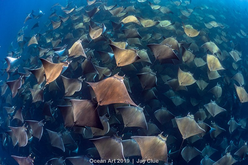 Gigantic Aggregation of Munk Devil Rays
