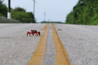 red crabs