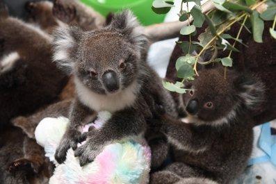 koala australia america zoos donations wildfires