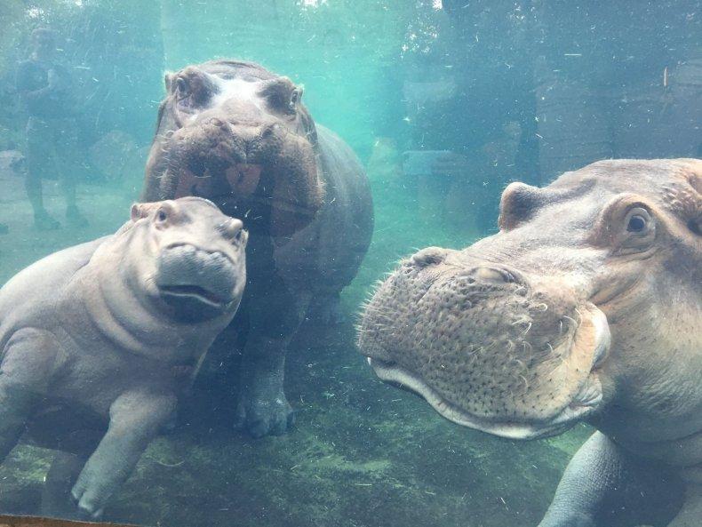 fiona cincinatti zoo hippo
