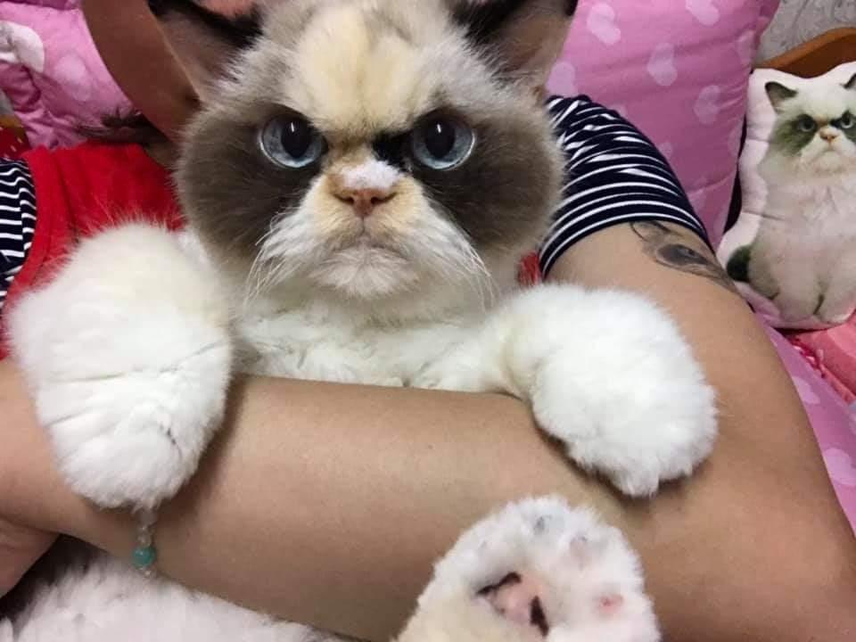 фотосессия кошки похожие на игрушку фото бурая различных