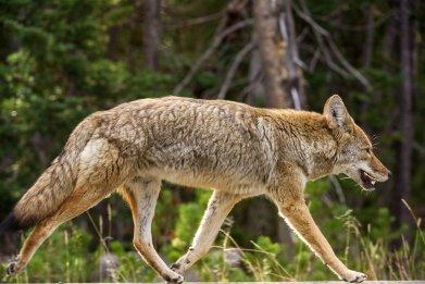 coyote Yellowstone