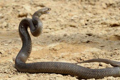 eastern brown snake Australia Sydney September 2012