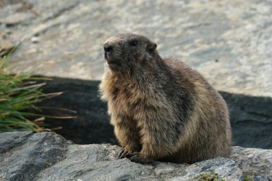 History of How Animals Began Predicting Weather For Groundhog Day