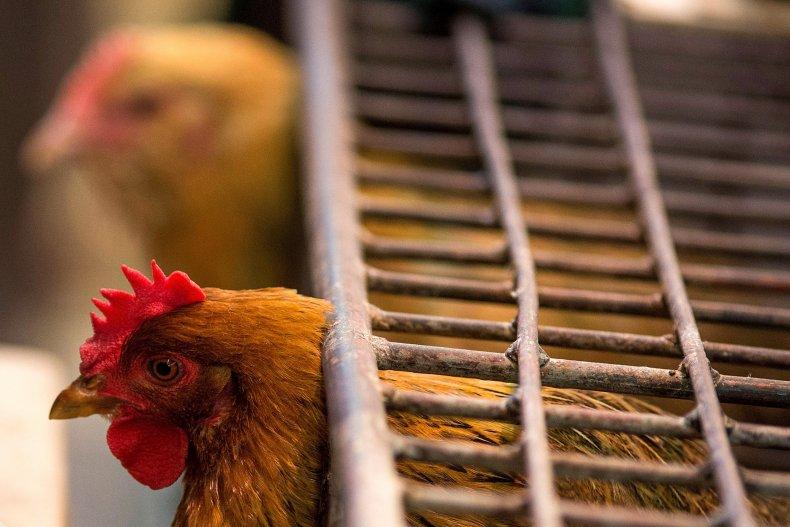 chicken, h5n1, china, bird flu