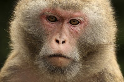 rhesus macaque monkey, hong kong,