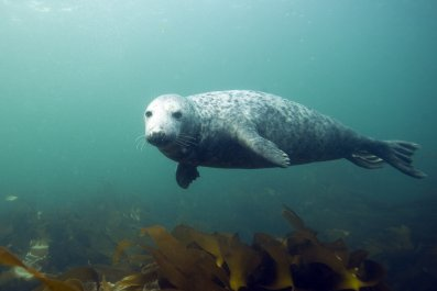 Gray Seal, Farne Islands
