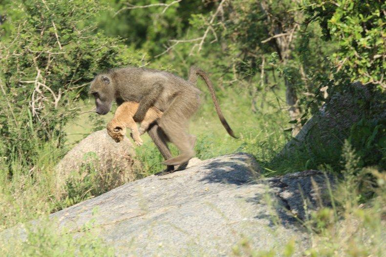 Baboon takes lion cub