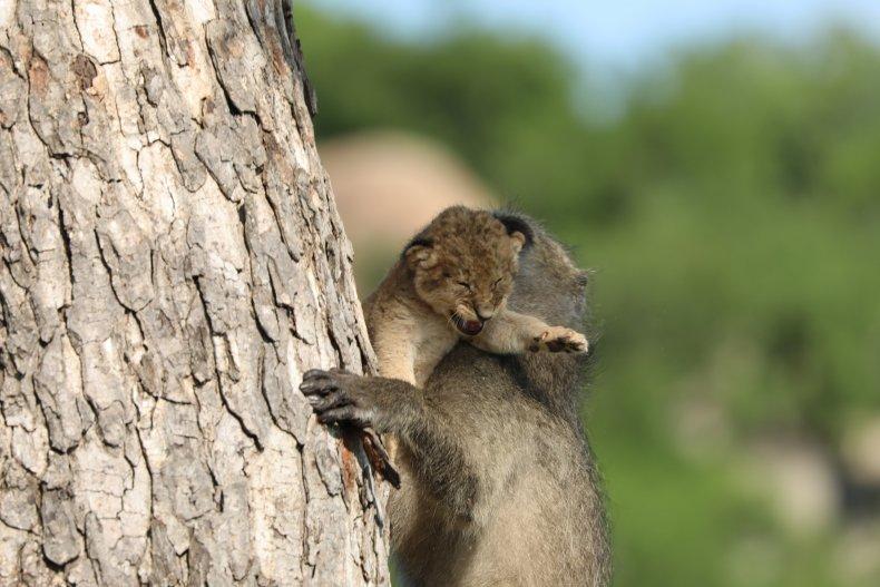 Baboon kidnaps lion