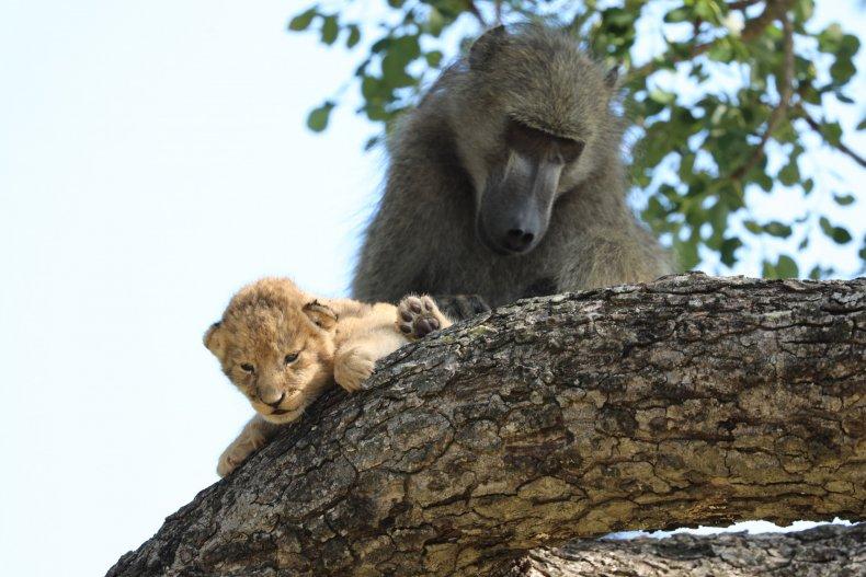 Baboon kidnaps lion cub