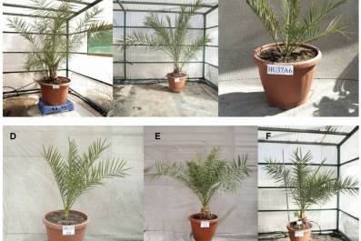 Judean date palms
