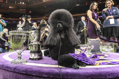 Meet the Poodle That Won the Westminster Dog Show's Best In Show