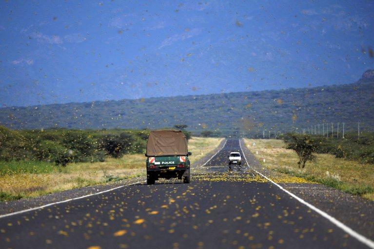 Locusts swarm from ground vegetation at Lerata village