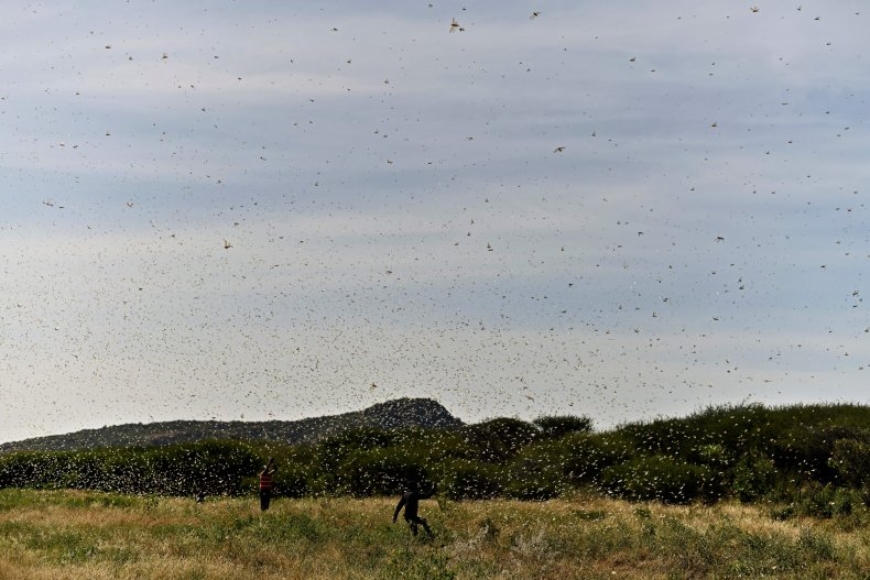 Swarm of locusts aggregates near Lerata village