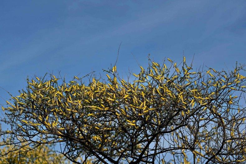 swarm of locusts on shrubs at Lerata village