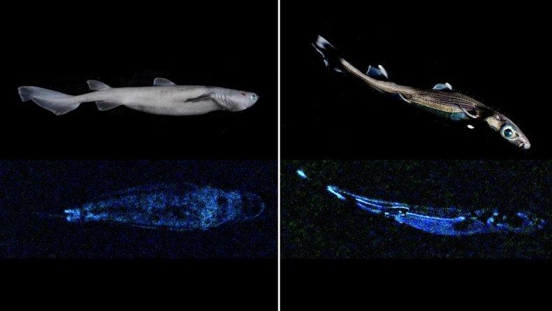 seal shark, lucifer dogfish