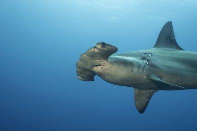 Scalloped Hammerhead Shark in Galapagos Island