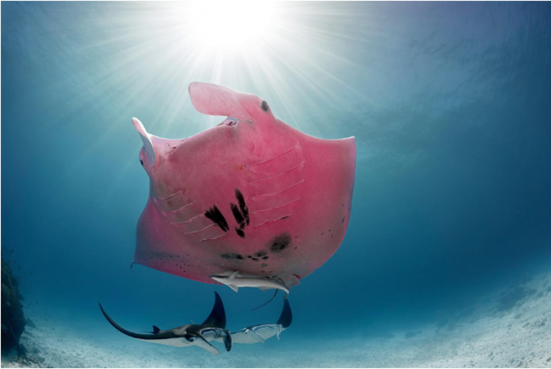 Pink Reef Manta Ray